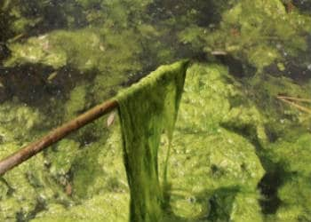 Algen verwijderen uit de vijver