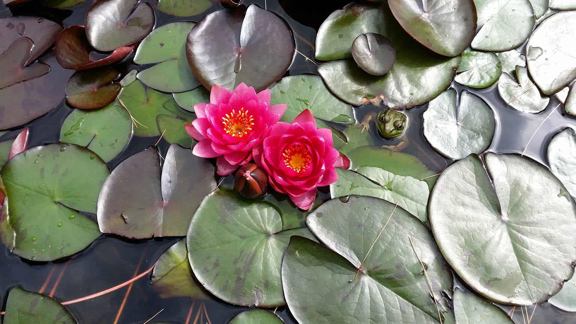 vijver met waterlelies