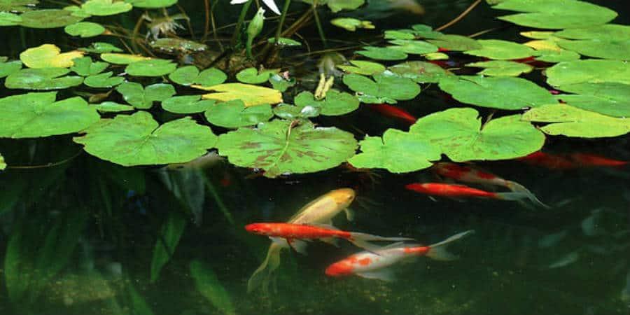Welke vijvervissen in een kleine vijver