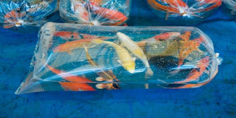 vijvervissen vervoeren in plastic zakken