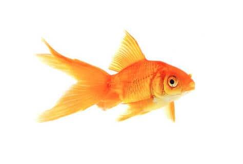 hoe oud worden goudvissen