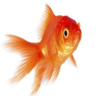bijzondere vijvervissen goudvis
