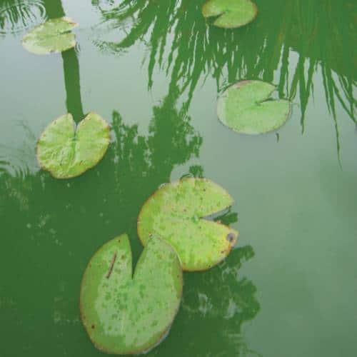 groene vijver helder maken